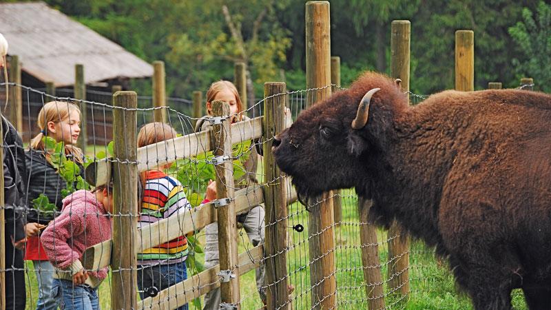 bison_800x450