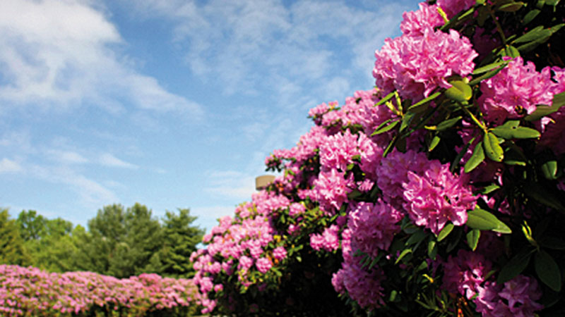 rhododendron_800x450